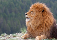 Barbary lion, Panthera leo leo