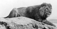 Barbary lion, photographed in Algeria in about 1893 by Sir Alfred Edward Pease