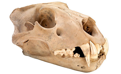 Skull of a North African Barbary lion, Panthera leo leo, from 1280-1385