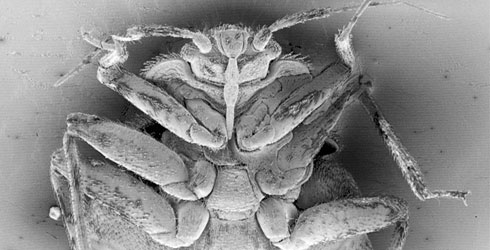 An SEM (scanning electron microscope) image of a bedbug, Cimex lectularius