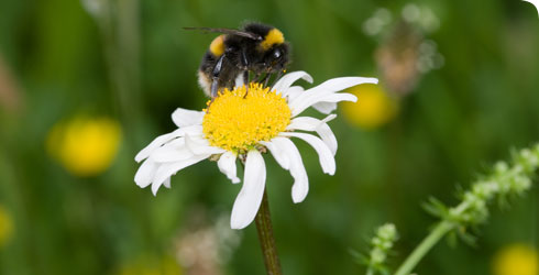 A bee pollinating an ox-eye daisy