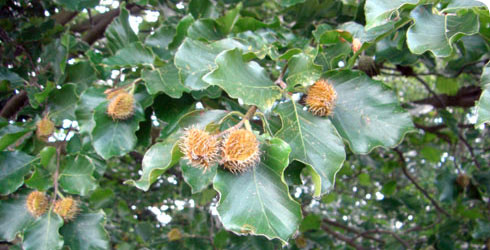 Beech tree fruit