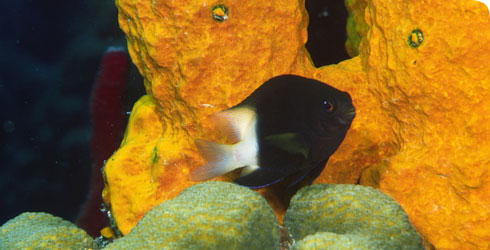 Bicolour damselfish, Stegates partitus
