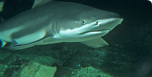 Black tip reef shark, Carcharchinus metanoperus