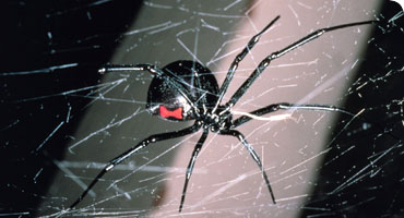 Black widow spider, Latrodectus mactans © K. & R. Preston-Mafham