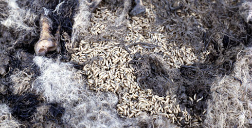 Blowfly maggots on a dead sheep