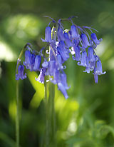 Bluebells (Hyacinthoides non-scripta) in the Wildlife Garden