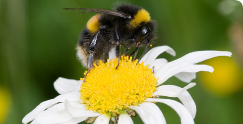 A bumblebee,  Bombus sp., in the Museum's Wildlife Garden