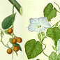 Endeavour botanical illustrations