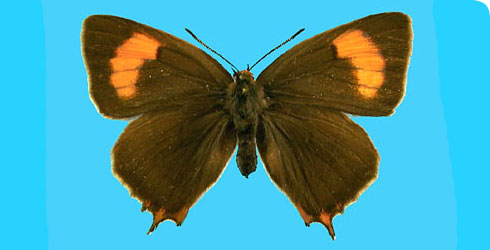 Brown hairstreak butterfly, Thecla betulae