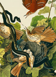 Brown thrashers, Toxostoma rufum, by John James Audubon