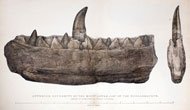 Megalosaurus jaw and teeth from William Buckland's notice on the Megalosaurus