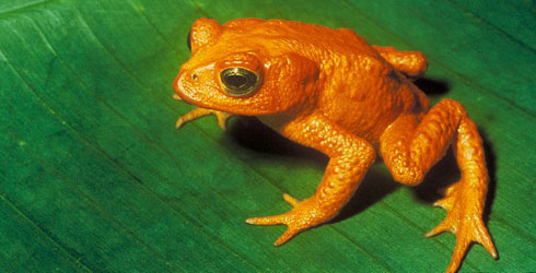 Male golden toad, Incilius periglenes