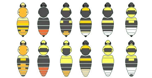 The colour patterns of different species of bumblebee