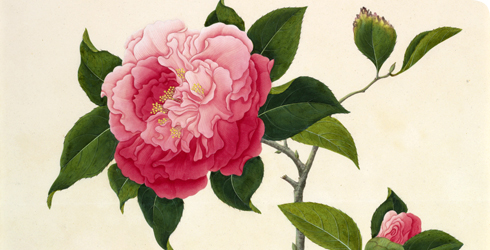 Watercolour painting of a camellia, Camellia japonica