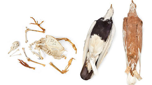 Specimens of fancy rock dove breeds, donated to the Natural History Museum by Charles Darwin