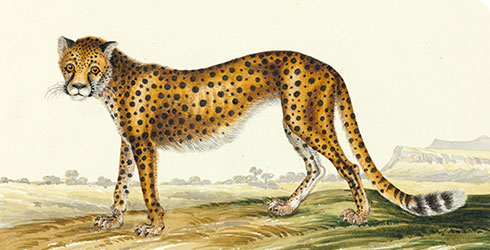 Cheetah, Acinonyx jubatus, watercolour from the India collection