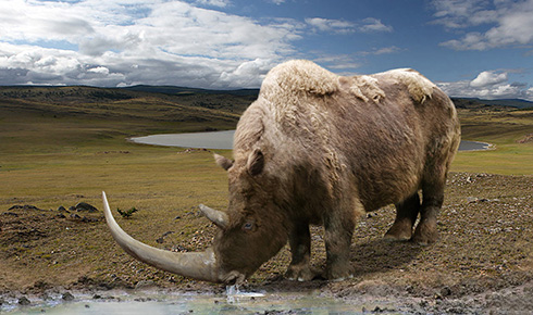 Woolly rhinoceros, Coelodonta antiquitotus