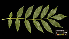 Compound leaf of the common ash, Fraxinus excelsior