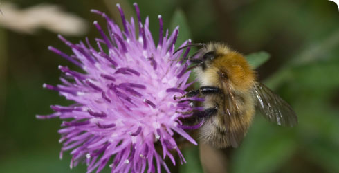 A common carder bee, Bombus pascorum