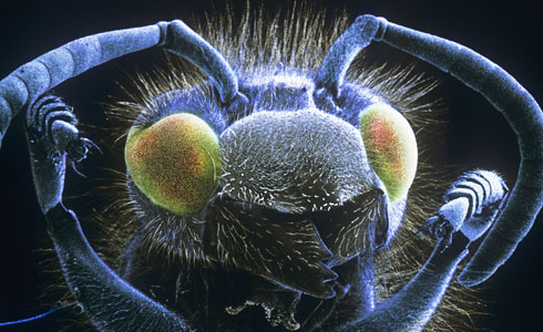 A common wasp seen through a scanning electron microscope.