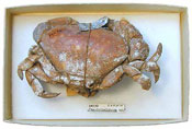 A crab collected by Darwin © Oxford Museum of Natural History