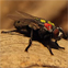 Flesh fly that causes the disease myiasis