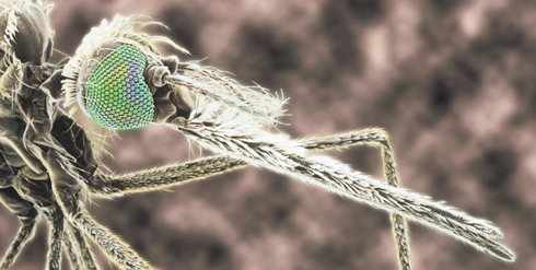 Scanning electron microscope image of the head and proboscis of a female mosquito.