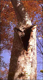 Damaged sycamore