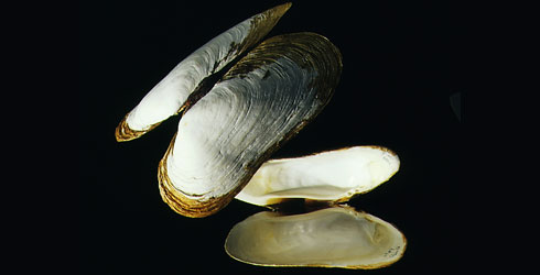 A photograph of the giant deep sea clam, Calyptogena magnifica