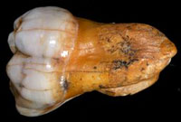 Molar tooth from an ancient human found in Denisova Cave, Siberia