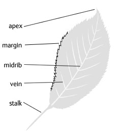 Diagram of a leaf showing the apex, margin, midrib, vein and stalk