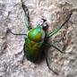 Dicronorrhina derbyana beetle photographed on a fieldtrip to Tanzania (Credit: Hitoshi Takano)