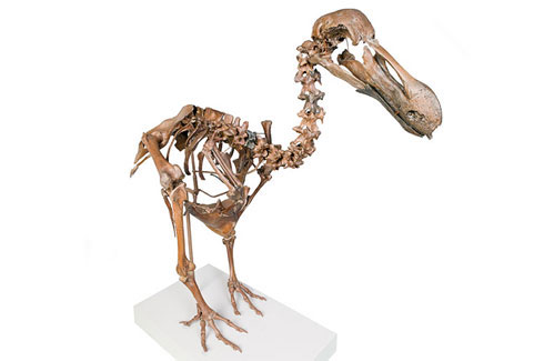 Rare dodo skeleton, Raphus cucullatus, constructed from bones around 1,000 years old