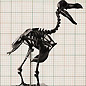 Dodo skeleton reconstruction