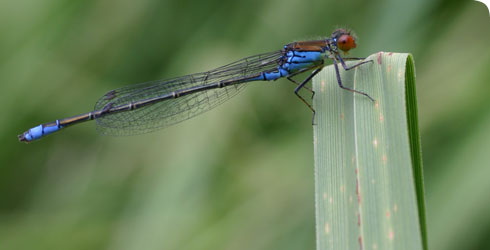 The small red-eyed damselfly, Erythromma viridulum
