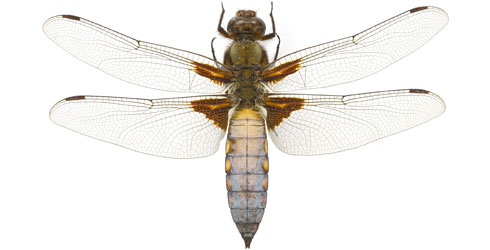 A male broad-bodied chaser dragonfly, Libellula depressa, from the Museum's collections