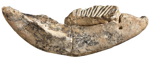 Dwarf elephant tooth and jawbone of Palaeoloxodon cypriotes, between 10,000 and 800,000 years old