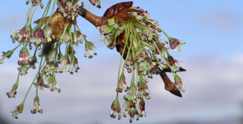 Flowers of the European white elm, Ulmus laevis