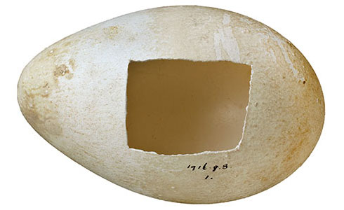 Emperor penguin egg, Aptenodytes forsteri, collected in 1911