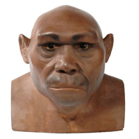 Reconstruction of early Homo erectus