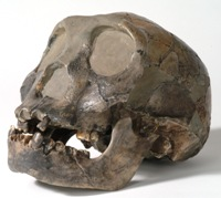 Replica fossil skull of 'Turkana Boy'