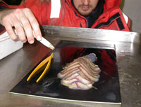 Dr Adrian Glover examining a giant scale-worm from the Antarctic deep sea