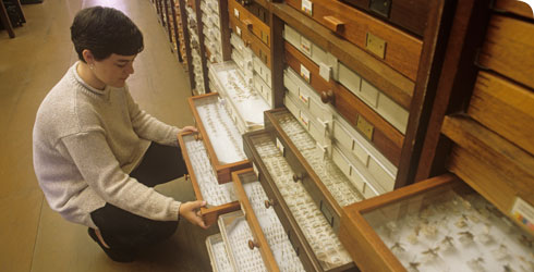 A volunteer at the Museum examining specimens from the entomology (insect) collection