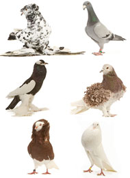 Fancy pigeon varieties