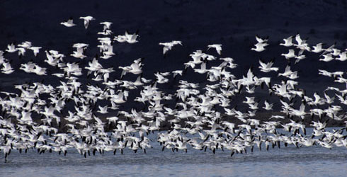 Snow geese, Anser caerulescens