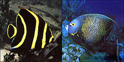 Juvenile and adult angel fish