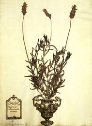 Clifford herbarium sheet of French lavender, Lavandula dentata