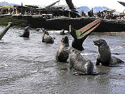 Young fur seals playing among the wrecks of whaling vessels © David N Thomas