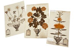 Herbarium sheets from the George Clifford collection